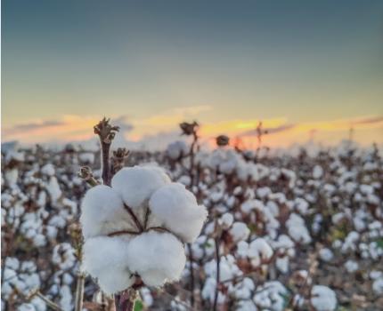 LIAG lidera la tendencia mundial en sustentabilidad del Algodón